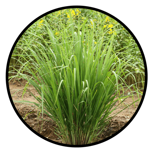Organic Lemongrass Essential Oil