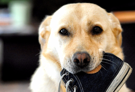yellow lab with shoe