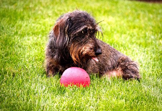 dachshund ball