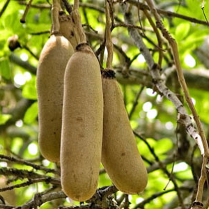 Kigelia tree sausages