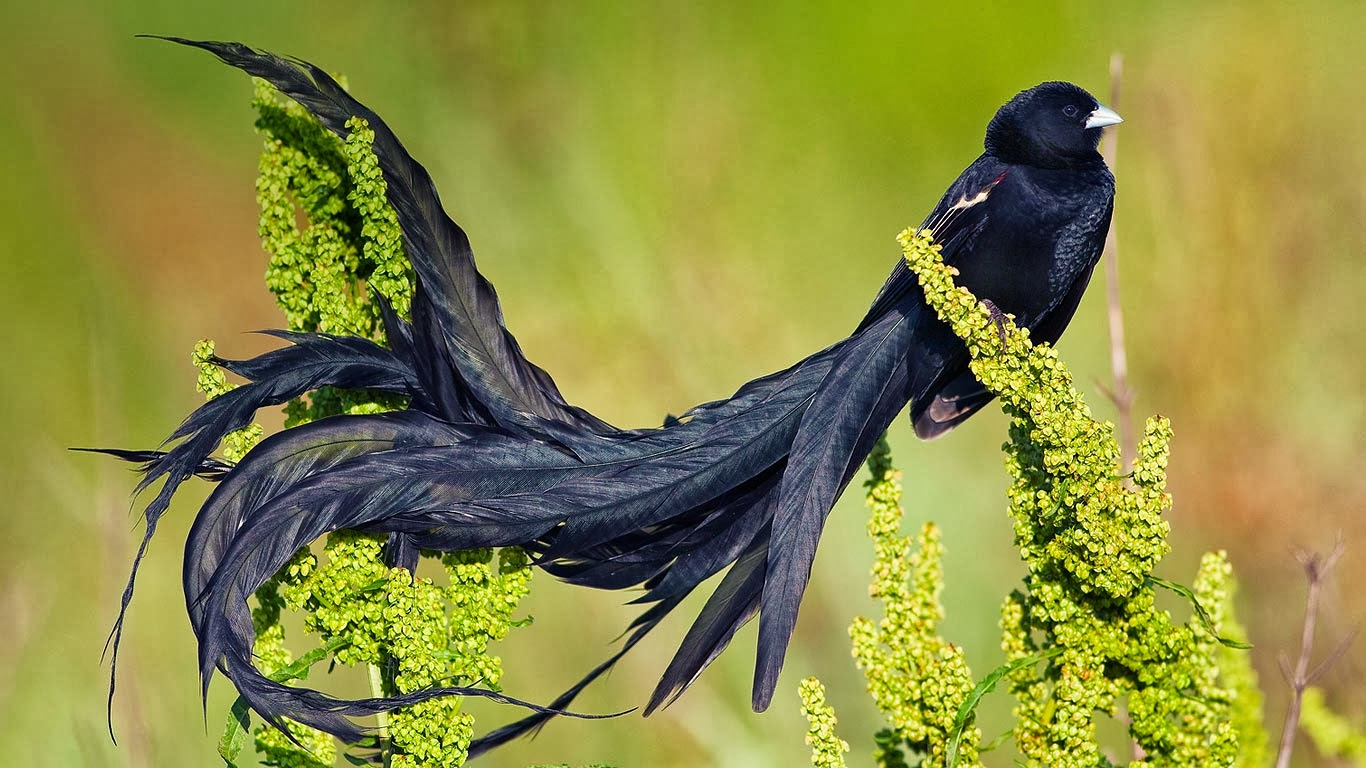 Beautiful Black Bird with Long Tail Feathers