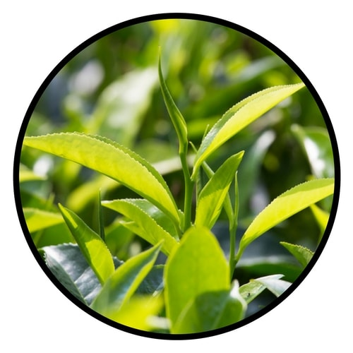 Organic Tea Tree Oil