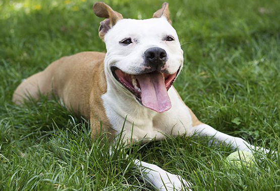 Training your pit bull can be easy
