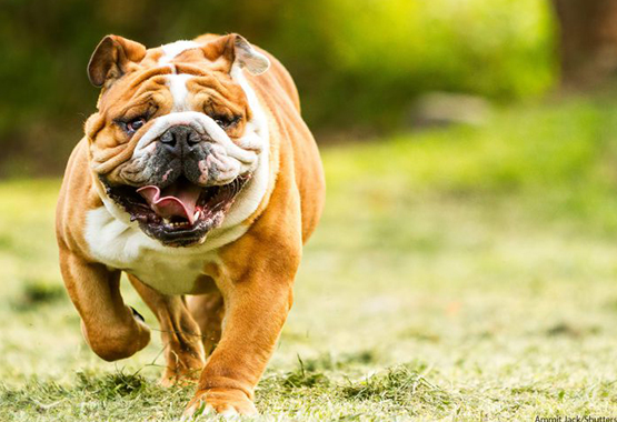 best harness for a siberian bulldog dog