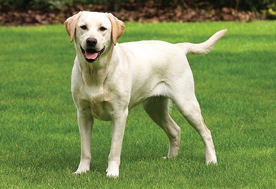 Training your labrador retriever can be easy