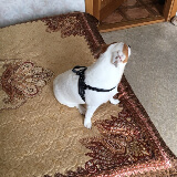 Quick fit dog harness small dog modeling