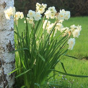 Scented Daffodils Erlicheer - Spring Bulbs for sale - Australia, Sydney, Melbourne, Adelaide, Brisbane