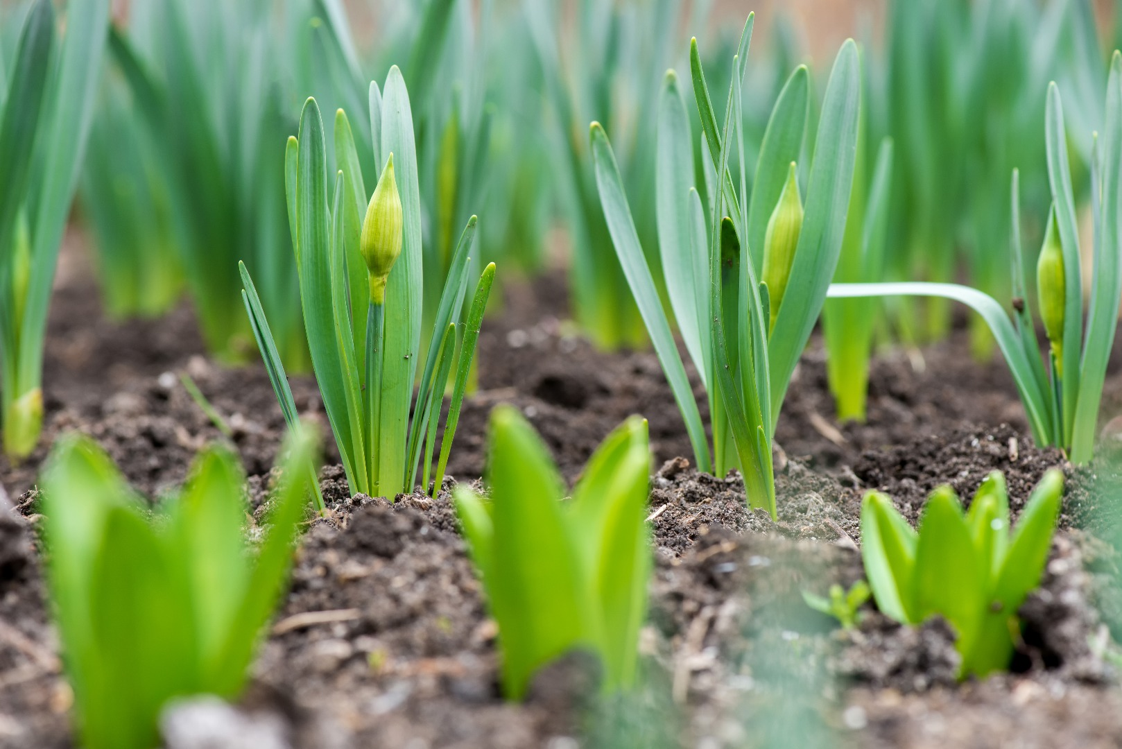 Bulbs sprouting - How to plant bulbs in your garden in Australia