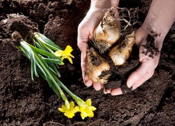 planting daffodils in australia