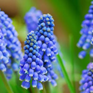 Grape Hyacinth Blue - bulk 250 pack