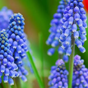 Grape Hyacinth Blue 100 pack