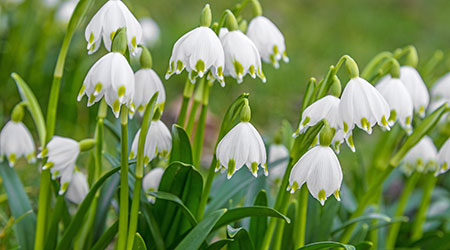 Bulbs in Bulk - snowflake bulbs for sale Australia
