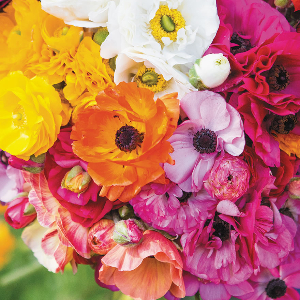 Garden Ranunculus Mixed Colours bulbs for sale Australia