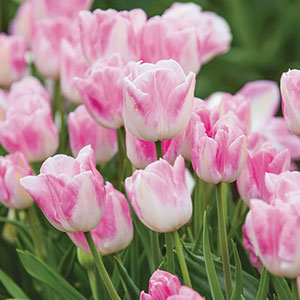 Bokassa Tulips Babydoll Bulbs in Bulk - Bakossa Tulips Babydoll for sale in Australia