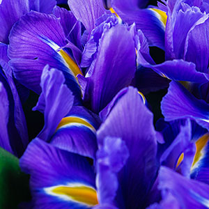 Dutch Iris Discovery - buy in bulk and save. Australian stock