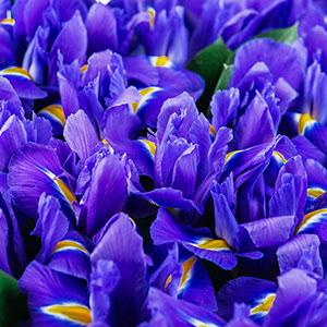 Dutch Iris Discovery for sale Australia 100 pack bulk price