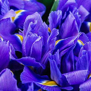 Dutch Iris Discovery for sale pack of 50