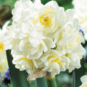 Scented Daffodils Erlicheer - Cheap bulbs to plant in Australia
