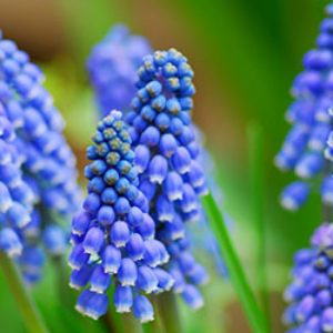 Grape Hyacinth Blue - bulk 250 pack