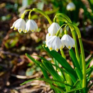Snowflake Gravetye Giant flowering bulbs for sale
