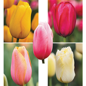 Monet Tulips Mixed for sale