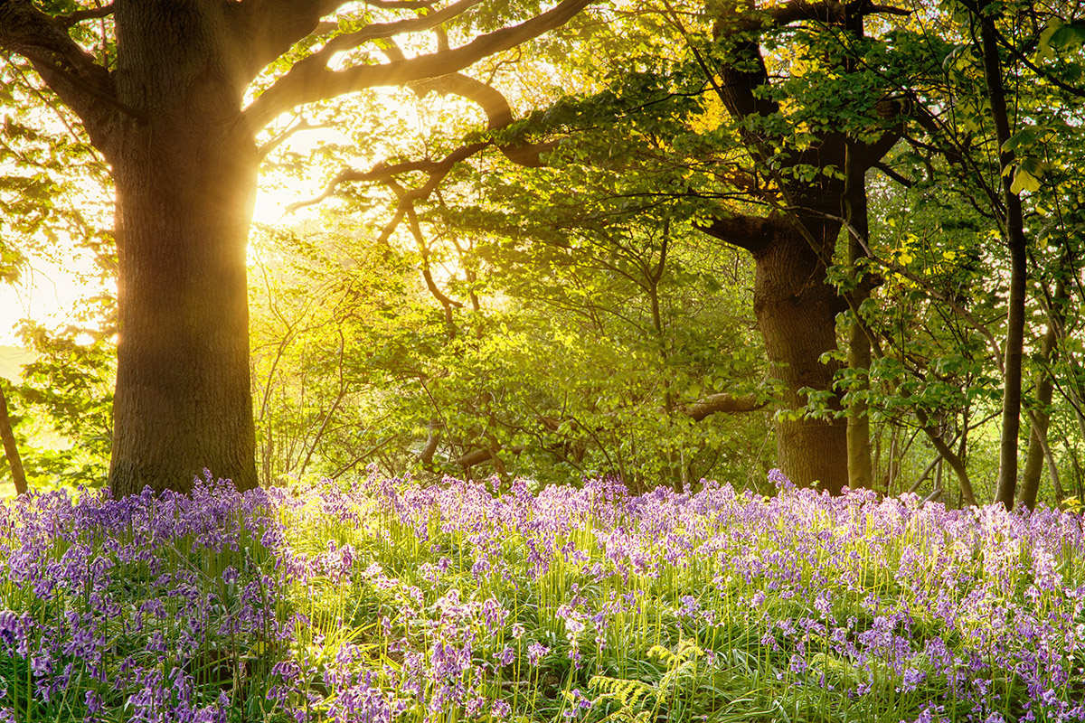 Bulbs in Bulk - Bluebells naturalised under deciduous trees