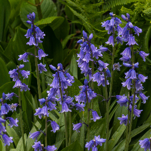 Bluebells - Blue Bulk wholesale prices