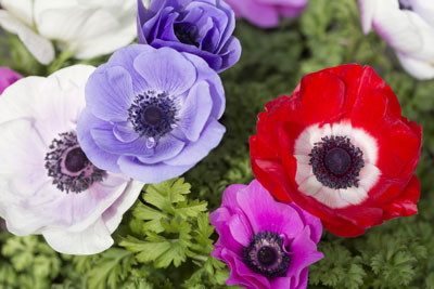 Mixture of Anemones for Australian gardens