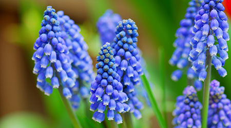 Bulbs in Bulk - Grape Hyacinth flowers