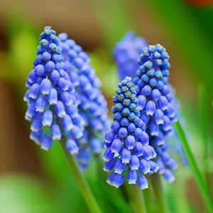 Grape Hyacinth Blue for sale - Australia