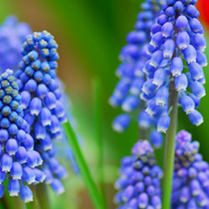 Grape Hyacinth Blue 100 pack