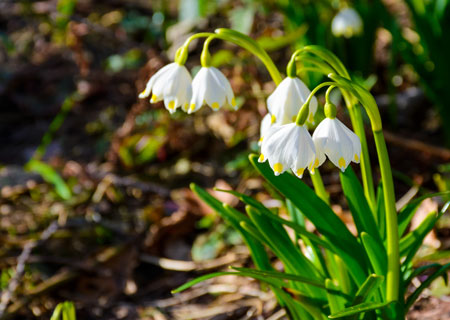 snowflake bulbs for sale australia - best price