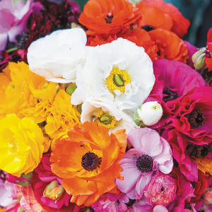 Garden Ranunculus Mixed Colours for sale Australian stock