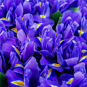 Dutch Iris Discovery for sale Australia 100 pack bulk price