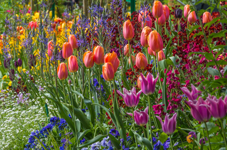 Bulbs in Bulk - Monet Tulips for sale- great for warmer zones like Mediterranean and Sub Tropical