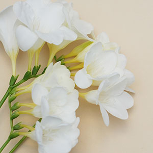 Grandma's Freesias Alba 100 pack lowest price