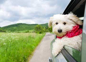 Dog on a car ride