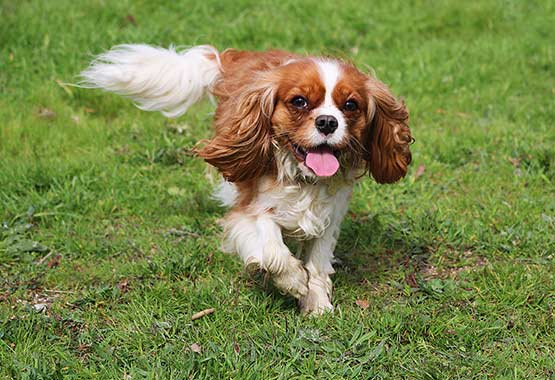 Cavalier King Charles Spaniel - Top 6 Diseases Your Dog Can Inherit