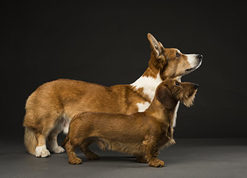 Dachshund and Corgi