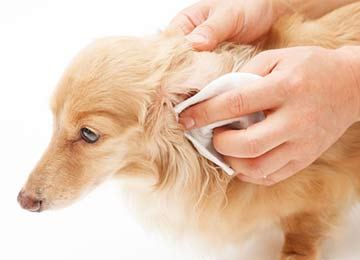 Have Patience when cleaning your dog's ears