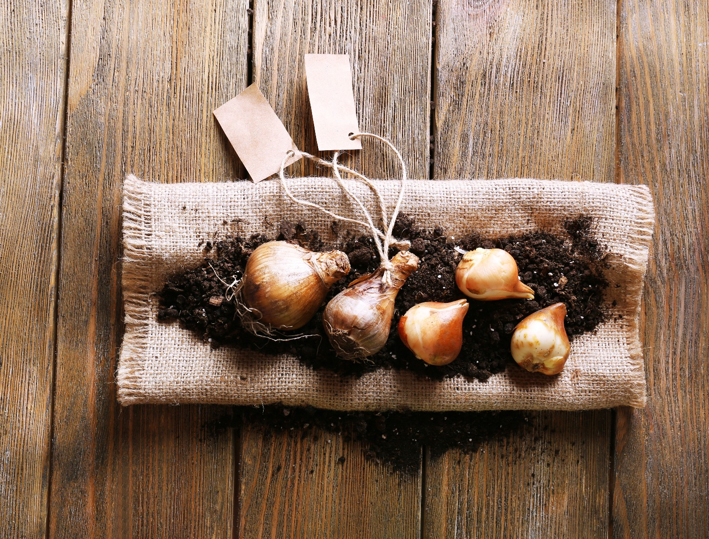 daffodil bulbs on hessian