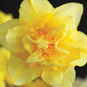 Dick Wildon Daffodil - A beautiful double daffodil that is easy to grow.