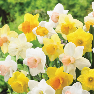 Daffodil Premium Hand selected Mix