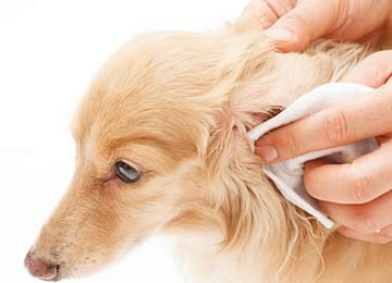 How to Clean Cat and Dog Ears