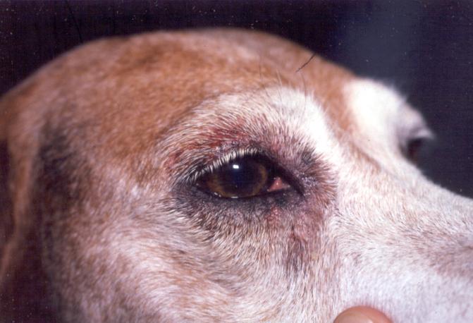dog allergy_watery eyes