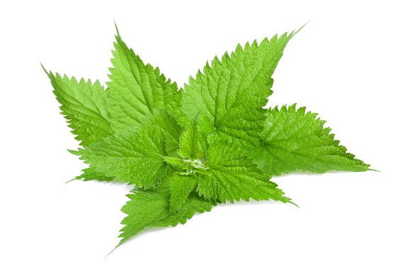 Stinging Nettle Root in Prostate Regain
