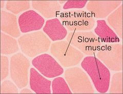 Cross-section of Muscle Fiber