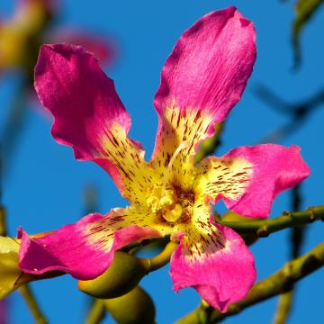 Kapokbaum blüte pink kapokfaser Füllung stillkissen matratze kissen minky mooh oeko-tex 100 standard pflanzendaune ceiba.jpg