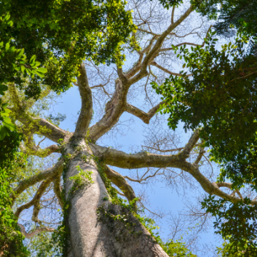 Kapokbaum wild natur kapokfaser Füllung stillkissen matratze kissen minky mooh pflanzendaune ceiba