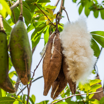 Kapok schote baum kapokfaser Füllung stillkissen matratze kissen minky mooh oeko-tex 100 standard pflanzendaune ceiba.jpeg